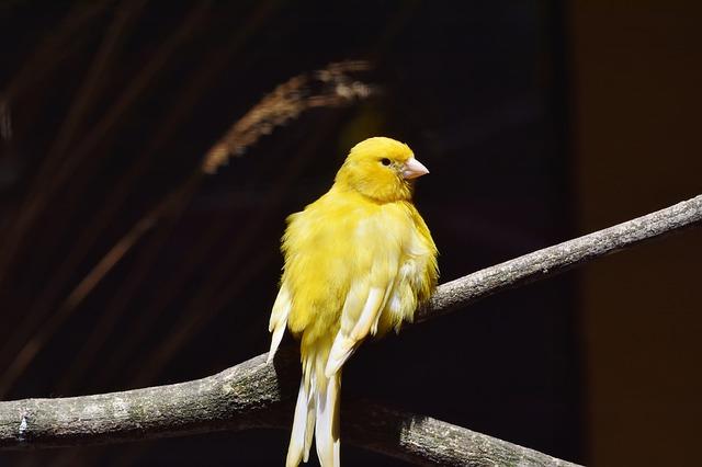 canari jaune vif