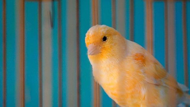 canari cage oiseau